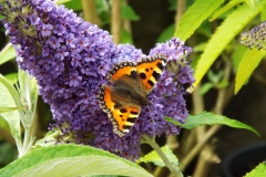 Buddleja Buzz Sky Blue with butterfly