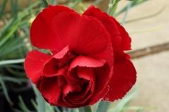 Dianthus Cheryl