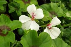 Ivy Geranium Supreme White