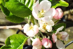 Apple (Malus) Beauty of Bath