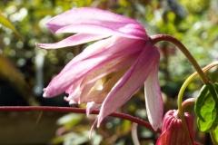 Clematis Alpina 'Pink Flamingo'