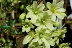 Clematis (Evergreen) 'Pixie'