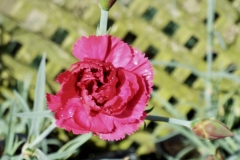 Dianthus 'Lady in Red'