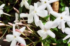Jasminium polyanthum