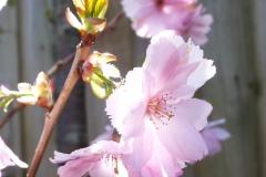Prunus Beni-yutaka | Cherry