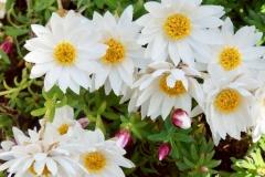 Rhodanthe Straw Flower