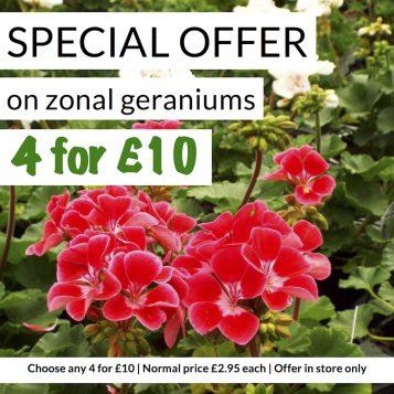 Special Offer Zonal Geraniums