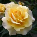 Sunny Sky Rose of the Year