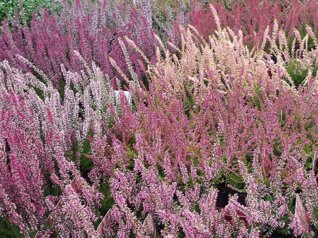 winter and spring flowering heather our plant of the month