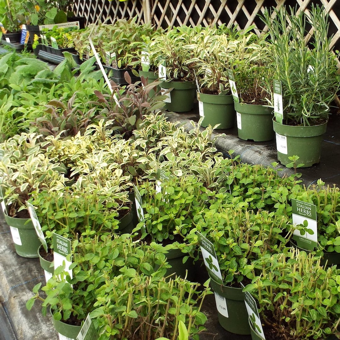 Herbs in greenhouse in April