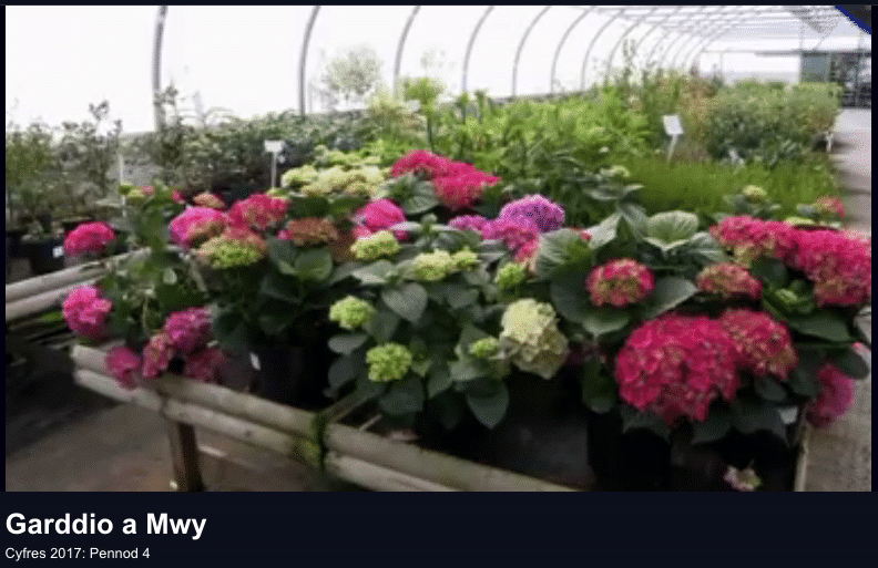 Hydrangeas on display Garddio a Mwy S4C 5 June 2017