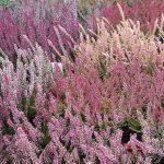 Winter and spring flowering heather