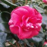 Nagasaki Camellia
