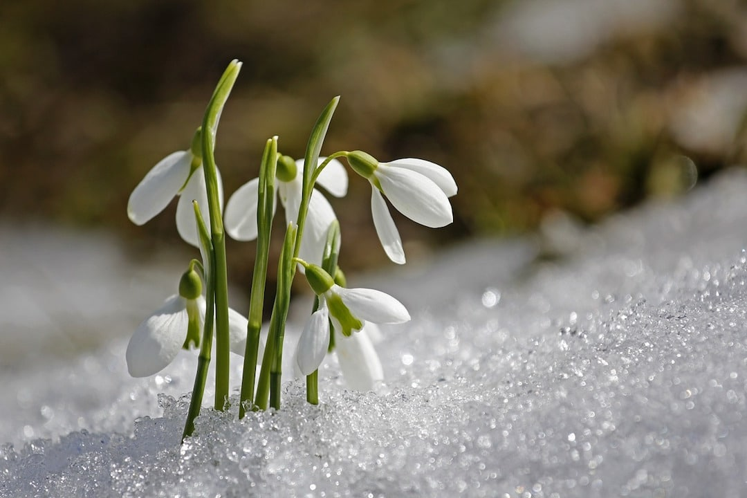 Snowdrops In The January Snow
