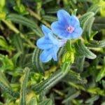 Lithodora 'Grace Ward' alpine plants