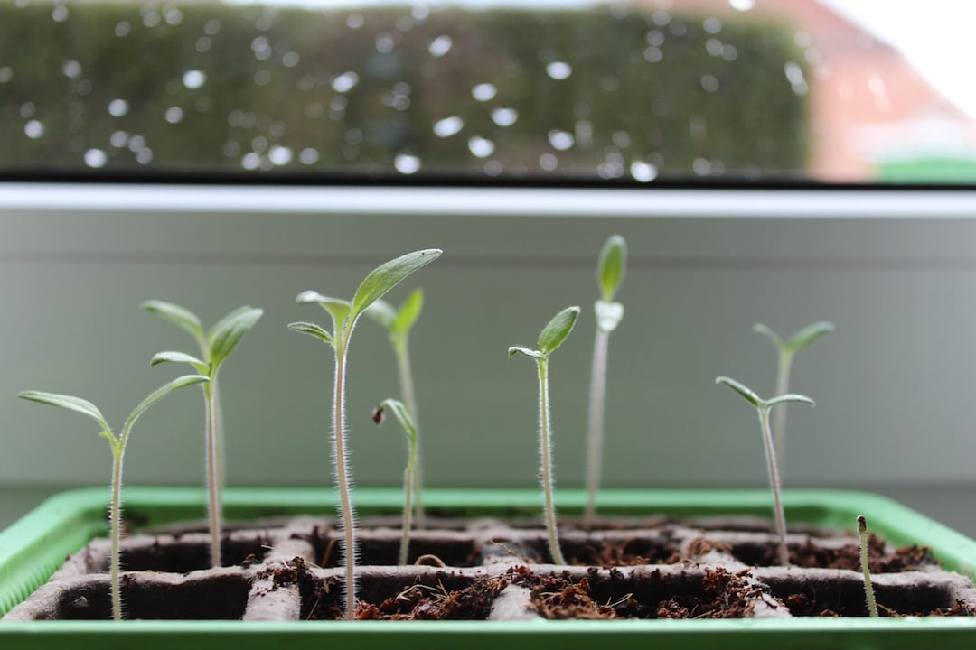Tomato Seedlings In February