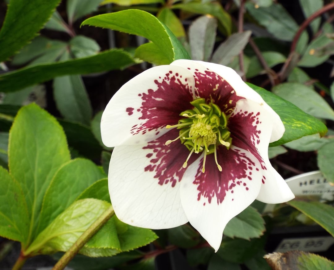 Helleborus Orientalis Flowering March