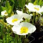 June flowering Papaver Nudicaule Spring Fever White