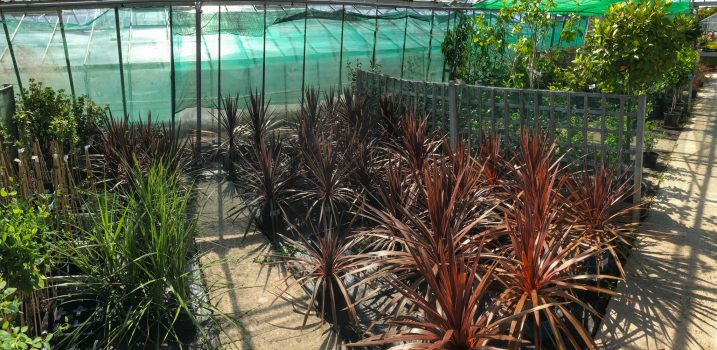 Mediterranean plants including palms cordylines etc